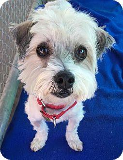 Maltese Mix Dog for adoption in Seal Beach, California - Biggie