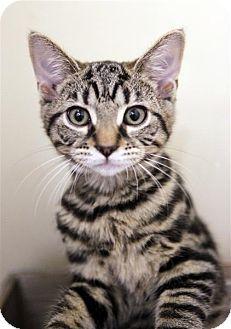 Domestic Shorthair Kitten for adoption in Fairfax Station, Virginia - Ziggy Girl