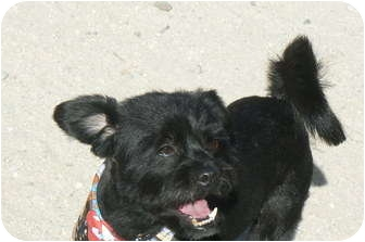 Terrier (Unknown Type, Small) Mix Dog for adption in Thatcher, Arizona ...