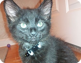 Domestic Mediumhair Kitten for adoption in North Highlands, California - Agapanther