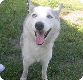 Husky Dog for adoption in Orange Park, Florida - Sky