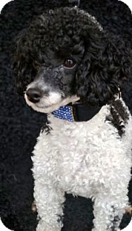Poodle (Toy or Tea Cup) Mix Dog for adoption in Bridgeton, Missouri - Payton