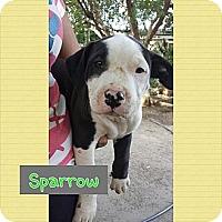 Adopt A Pet :: Sparrow - Fowler, CA