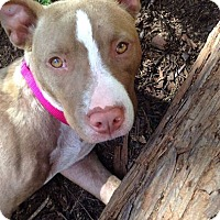 Adopt A Pet :: Scarlet - San Jose, CA