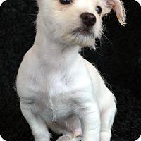 Adopt A Pet :: Spark - Bridgeton, MO