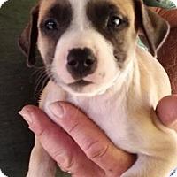 Adopt A Pet :: Habanero - Gainesville, FL