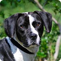 Adopt A Pet :: Spot - Boston, MA