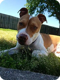 American Staffordshire Terrier Mix Dog for adoption in Baton Rouge, Louisiana - Reese