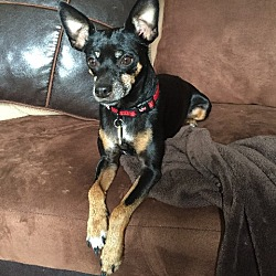Photo 3 - Miniature Pinscher Dog for adoption in Nashville, Tennessee - Mercedes