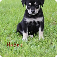 Adopt A Pet :: Hayes - New Oxford, PA