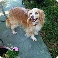 Cocker Spaniel/Cocker Spaniel Mix Dog for adoption in Las Vegas, Nevada - Corky