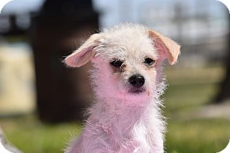 Terrier (Unknown Type, Small) Mix Puppy for adoption in Rosamond, California - Milo