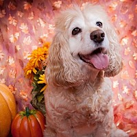 Cocker Spaniel Dog for adoption in Elizabethtown, Pennsylvania - Vodka