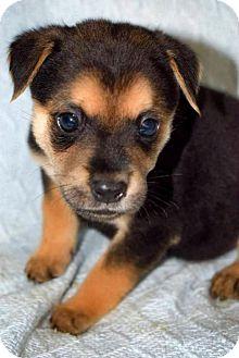Labrador Retriever Mix Puppy for adoption in Arlington, Virginia - Martina - ADOPTION PENDING!!
