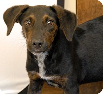 Hound (Unknown Type)/Australian Cattle Dog Mix Dog for adoption in Newland, North Carolina - Kenji