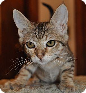 Domestic Shorthair Kitten for adoption in La Canada Flintridge, California - Destiny