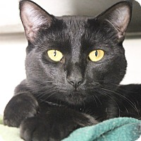 Adopt A Pet :: Cleo - Middletown, CT