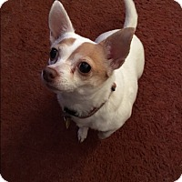 Adopt A Pet :: Tinkerbell - Indianapolis, IN