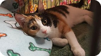 Domestic Shorthair Kitten for adoption in Freeport, New York - Spangle
