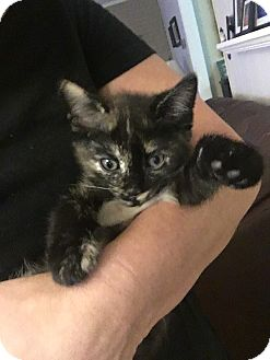 Domestic Shorthair Kitten for adoption in Virginia Beach, Virginia - Miss Mae