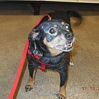 Adopt A Pet :: ladybug - haslet, TX