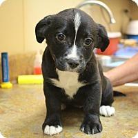 Adopt A Pet :: Fudge Ripple - Glastonbury, CT