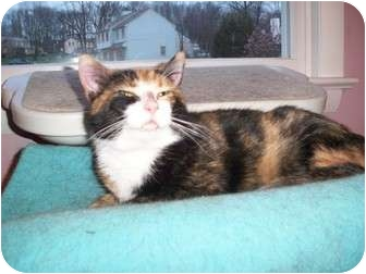 Domestic Shorthair Cat for adoption in Jenkintown, Pennsylvania - Candy