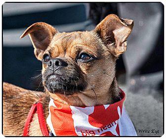 Libery Adopted Dog San Marcos Ca Pug Italian Greyhound Mix
