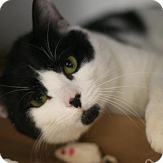 American Shorthair Cat for adoption in New York, New York - Orion