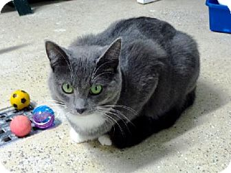Domestic Mediumhair Cat for adoption in Belleville, Michigan - Gemma