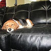 Adopt A Pet :: Lady - Alexandria, VA