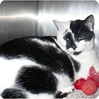 Adopt A Pet :: Calvin - Colmar, PA