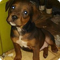 Adopt A Pet :: Dr. Pepper - Salem, MA