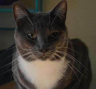 Domestic Shorthair Cat for adoption in Maywood, Illinois - Teddy