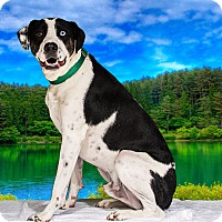 American Bulldog Mix Dog for adoption in Livonia, Michigan - Beau