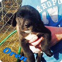 Adopt A Pet :: Oren--in NH! - Chichester, NH