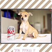 Adopt A Pet :: Jem (Pom-JS) - Hagerstown, MD