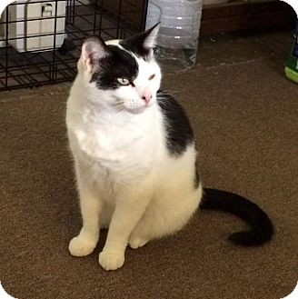 Domestic Shorthair Cat for adoption in Transfer, Pennsylvania - Daisy