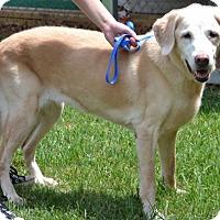 Labrador Retriever Mix Dog for adoption in Athens, Alabama - Casey