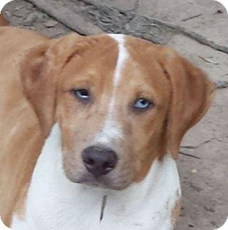 Vizsla/Mountain Cur Mix Puppy for adoption in Preston, Connecticut - Tank AD 01-21-17