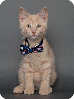 Domestic Shorthair Kitten for adoption in Wyandotte, Michigan - Newman