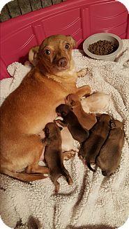 Dachshund/Chihuahua Mix Dog for adoption in Gilbert, Arizona - Maisey