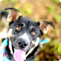 Husky/German Shepherd Dog Mix Dog for adoption in Muldrow, Oklahoma - Rob