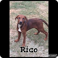 Adopt A Pet :: Rico - Shaw AFB, SC