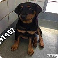 Adopt A Pet :: A397457 - San Antonio, TX