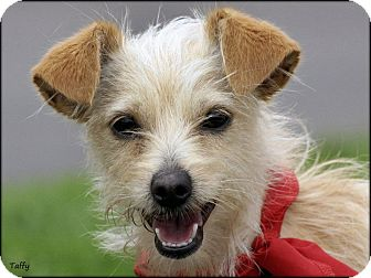 Terrier (Unknown Type, Small) Mix Dog for adoption in Vista, California - Taffy