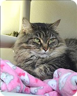 Domestic Longhair Cat for adoption in Delaware, Ohio - Clover