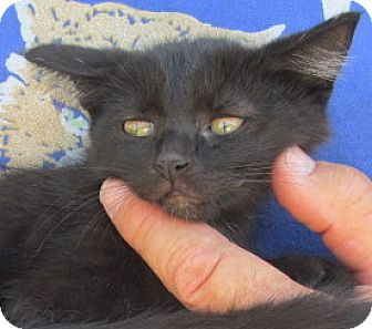 Maine Coon Kitten for adoption in Germantown, Maryland - Gigi