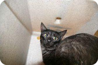 Domestic Shorthair Cat for adoption in Wildomar, California - Maggie