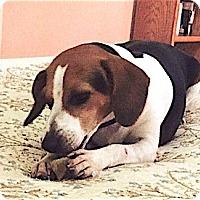 Adopt A Pet :: Lizzie - Houston, TX